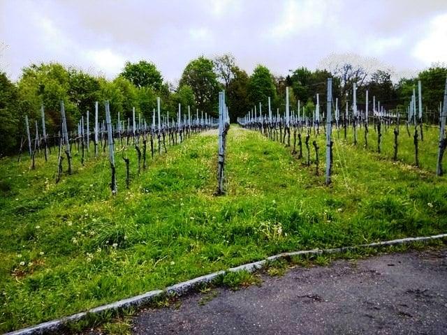 Beautiful vineyards in the making...